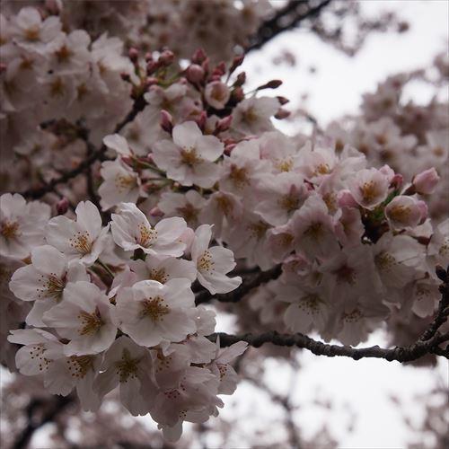 ゆうブログケロブログお花見と花まつり (15)