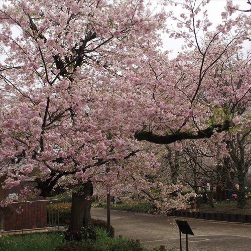 ゆうブログケロブログお花見と花まつり (18)