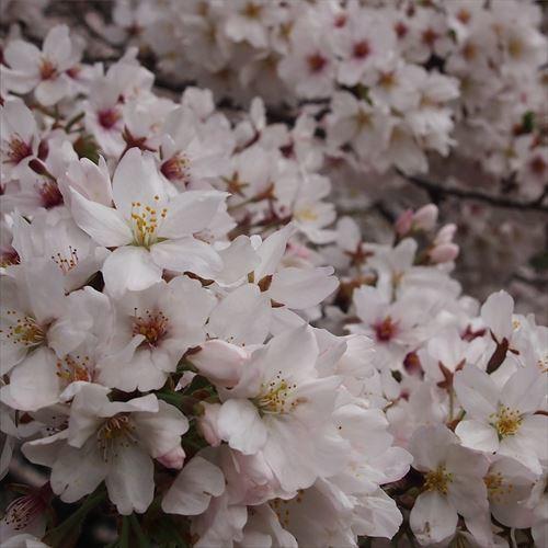 ゆうブログケロブログお花見と花まつり (23)