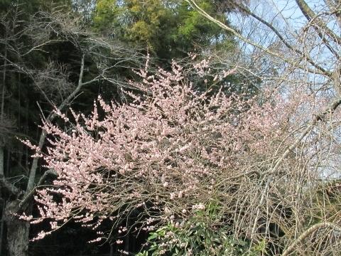 2017年3月19日・福泉寺・花①