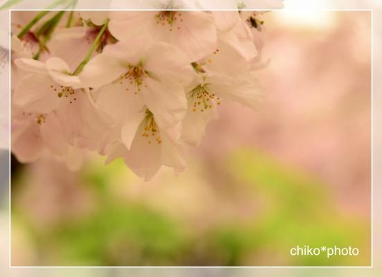 photo-697 さくら1