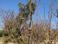 花桃のつぼみ