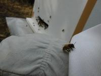 手乗りミツバチ(1)