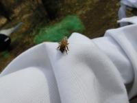 手乗りミツバチ(3)