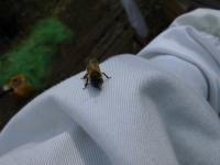 手乗りミツバチ(4)