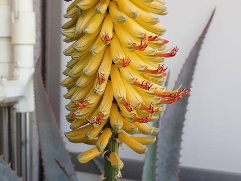 アロエ・アフリカーナ 開花20170311