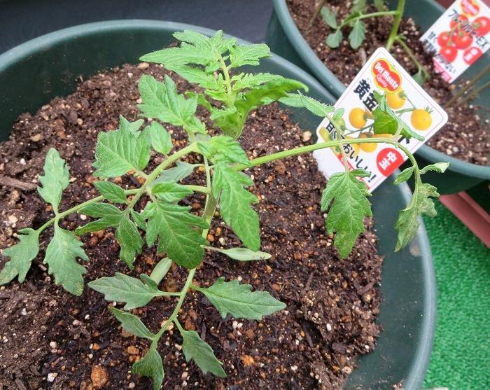 tomatonae1.jpg