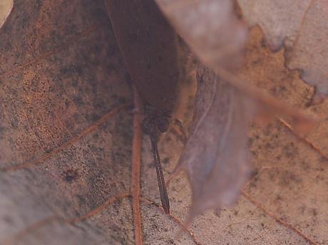 越冬ムラサキシジミ2