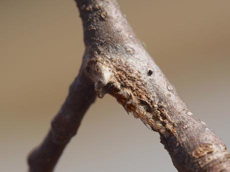 リンゴコブガ越冬幼虫