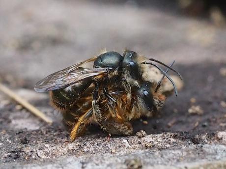 ヒメハナバチか♂♀