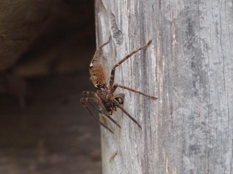 ヒメハナバチか&コアシダカグモ