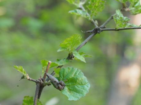 アシベニカギバ幼虫2匹