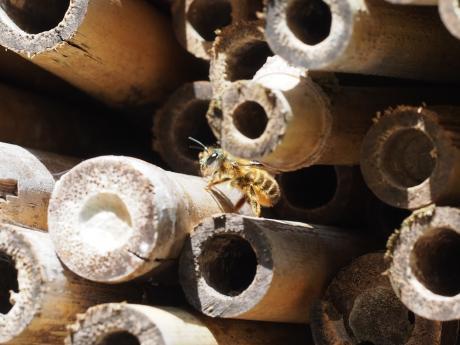 ヒメハナバチか2