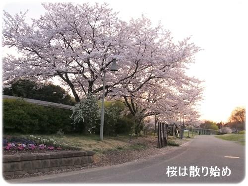 桜は散り始め