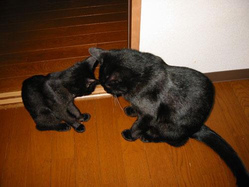 黒猫 ごっつんこ