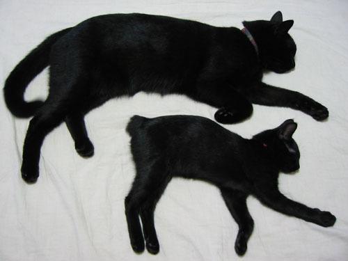 黒猫 並ぶ