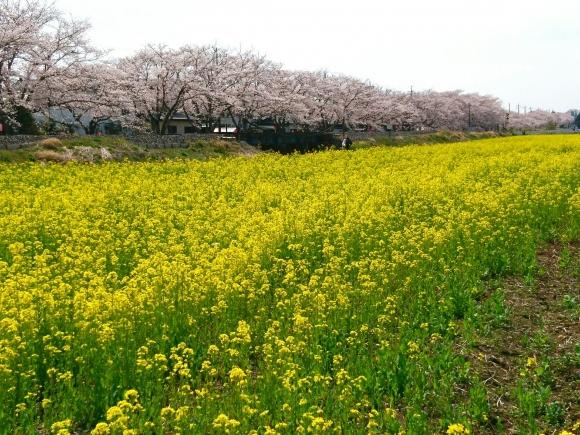 2017桜町2