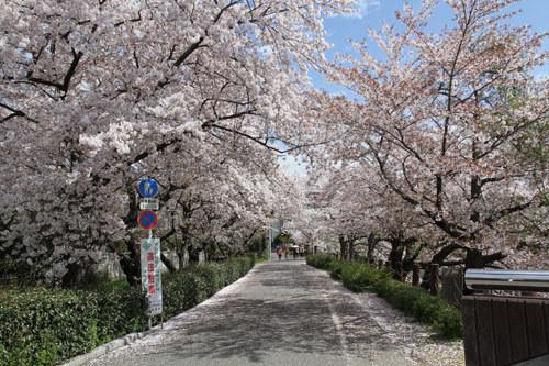 山崎川桜歩道