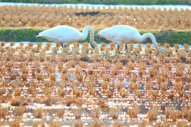 キラキラ白鳥