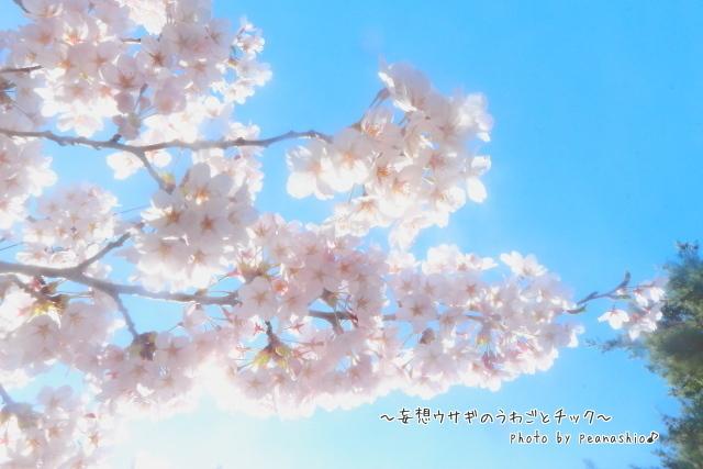 ほほさん的桜