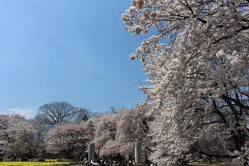 神代桜12