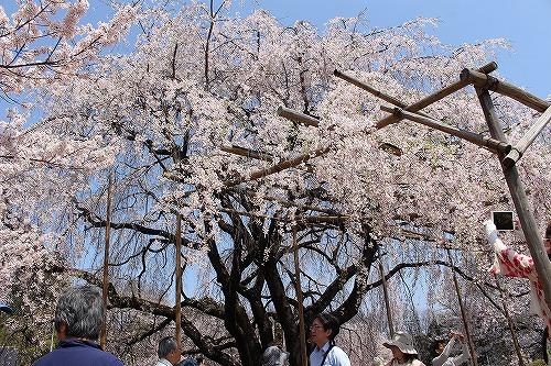 神代桜11