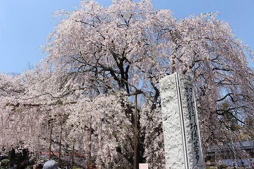 神代桜10