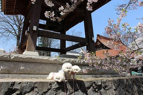 神代桜15