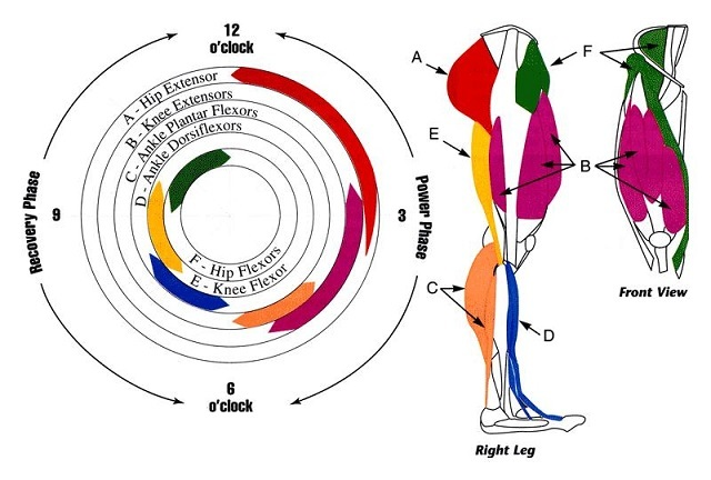 競輪筋電図