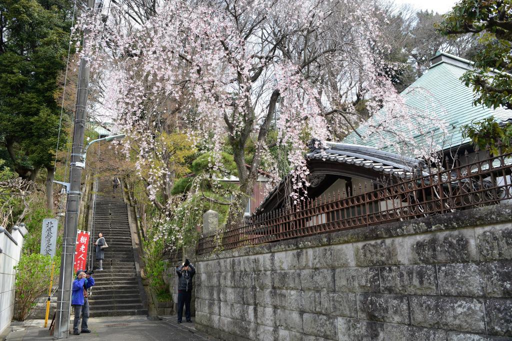 妙見堂下の枝垂れ桜