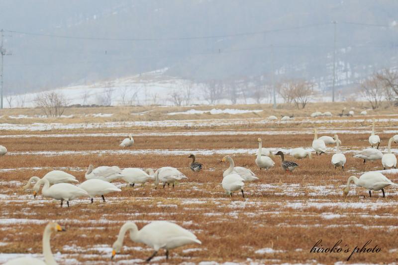 269 白鳥、ヒシクイ0001署名入りedited
