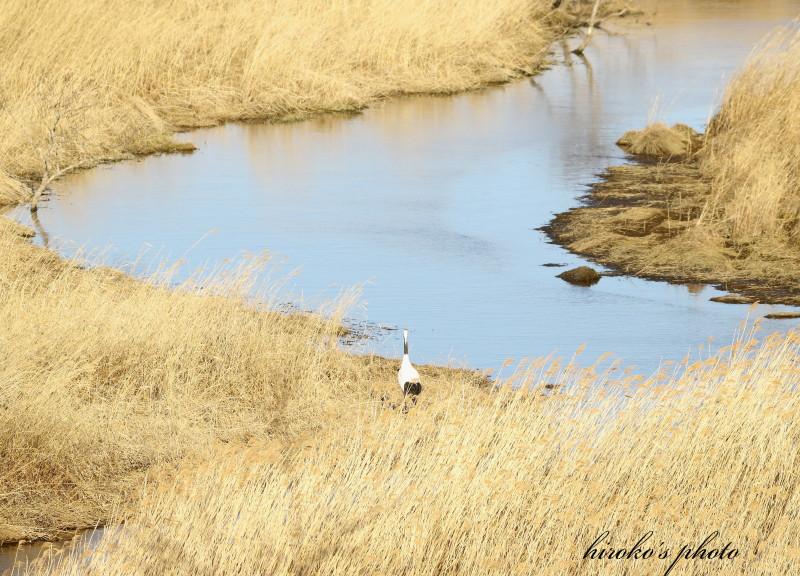 329 釧路湿原の丹頂鶴0001署名入りedited