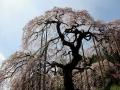 2017jitokuji-sidarezakura4-web600.jpg