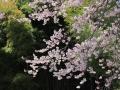 2017zesaiji-edohiganzakura14-web600.jpg