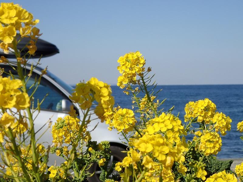館山菜の花ビーチ菜の花 (1)
