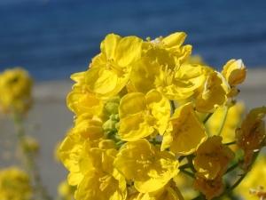 館山菜の花ビーチ菜の花 (2)