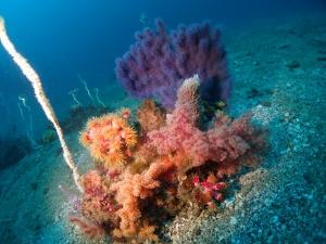 2勝山かっちゃま水樽みずだるサンゴ軟体サンゴ (4)