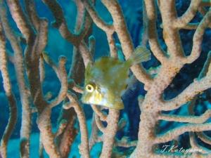 2勝山かっちゃま水樽みずだるサンゴ軟体サンゴ (10)