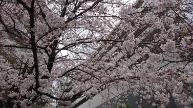 散歩桜② (377x212)