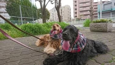 散歩桜① (377x212)