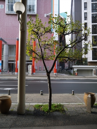 ヒメリンゴの木