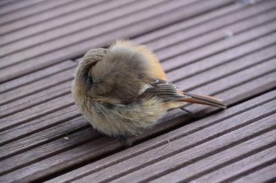 170211小鳥 (3)