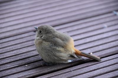 170211小鳥 (6)
