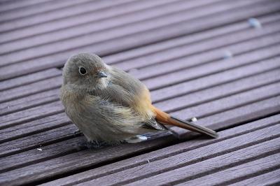 170211小鳥 (9)