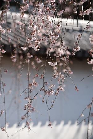 170405醍醐寺桜 (3)