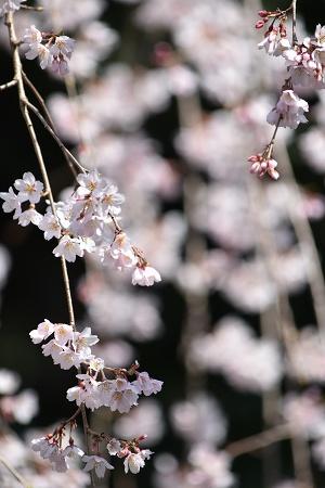 170405醍醐寺桜 (6)