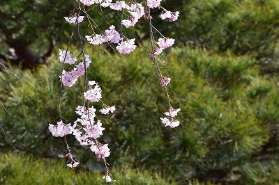 170405醍醐寺桜 (7)