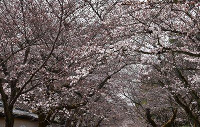 170405醍醐寺桜 (9)