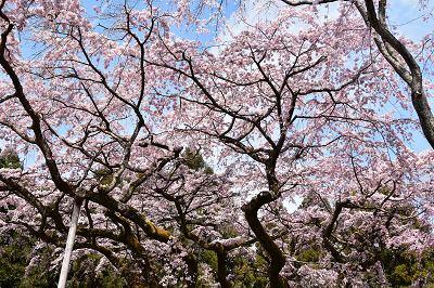 170405醍醐寺桜 (15)