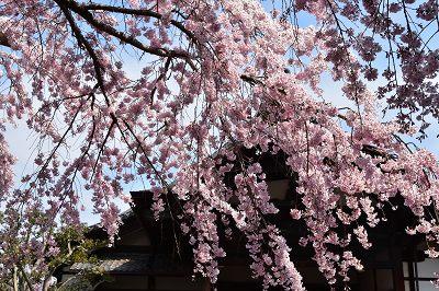 170405醍醐寺桜 (17)
